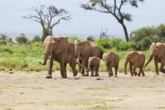 Elephant Herd in Kenya Stock Photography