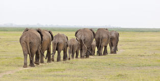Elephant Herd in Kenya. A herd of African Elephants in Amboseli National Park in Kenya on their way to a water hole from behind stock photos