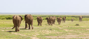 Elephant Herd in Kenya Royalty Free Stock Photography