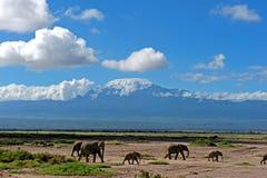Elephant herd from kilimajaro Royalty Free Stock Image