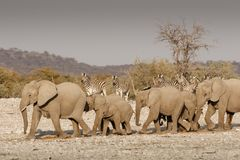 Elephant herd marching to water royalty free stock photo