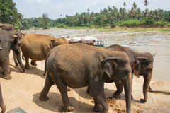 Elephant herd marching towards the river. In Pinnawala Royalty Free Stock Images