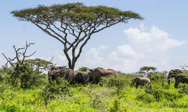 Elephant herd Royalty Free Stock Images