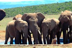 Elephant herd mourning Stock Images
