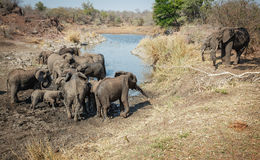 Elephant herd in the mud Stock Image