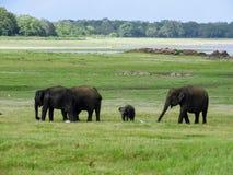 Elephant herd in sri lanka Stock Photo