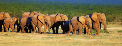 Elephant herd on open green plains royalty free stock image