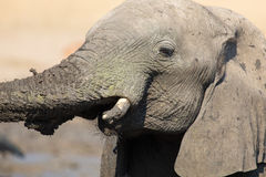 Elephant herd playing in muddy water with lot of fun Royalty Free Stock Photography