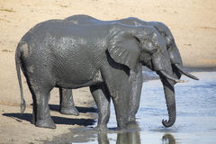 Elephant herd playing in muddy water with lot of fun Royalty Free Stock Photo