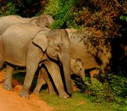 Elephant herd protective of young calf Royalty Free Stock Image