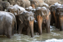 Elephant herd in river Stock Photos
