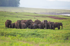 Elephant herd. Seen in back waters of Bhadra river on India Royalty Free Stock Image