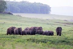 Elephant Herd Stock Image