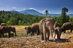 Elephant herd, Sri Lanka. Elephant herd in Sri Lanka. Cub and his mother Royalty Free Stock Photography