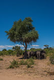 Elephant herd standing in shade of tree Royalty Free Stock Photography