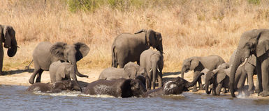 Elephant herd swimming Royalty Free Stock Photography