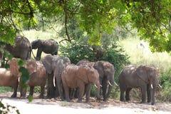 Elephant herd in Tanzania Stock Photos