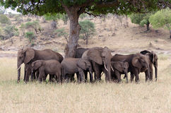 Elephant Herd. Tarangire National Park Stock Images