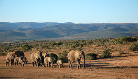 Elephant Herd Trekking Royalty Free Stock Photos
