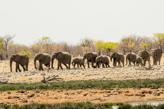 Elephant herd trooping to the waterhole Stock Photography