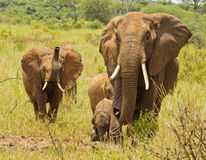 Elephant Herd with trumpeting juvenile Stock Image