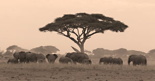 Elephant herd under acacia. Tree in Amboseli Kenya Stock Photos