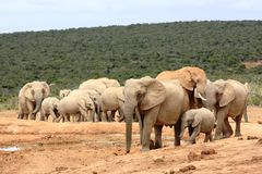 Elephant herd walking. A group of elephants walkiing to a waterhole Stock Photos