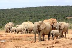 Elephant herd walking Stock Photos
