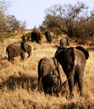 Elephant Herd Walking Away Royalty Free Stock Images