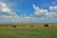 Elephant herd walking through the high green and yellow grass in the savannah. In Masai Mara Royalty Free Stock Photos