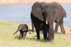Elephant herd walking over grass after drinking water on hot day Royalty Free Stock Images