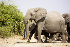 Elephant Herd Walking Past Royalty Free Stock Photography
