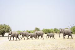 Elephant Herd Walking Past Royalty Free Stock Image
