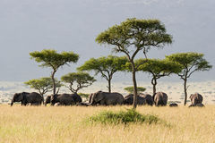 Elephant Herd. Walking through the Savannah in Massai Mara, Kenya Royalty Free Stock Photos