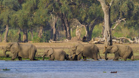 Elephant herd walking through water Royalty Free Stock Photography