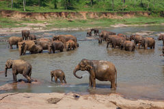 Elephant herd washes Royalty Free Stock Photography