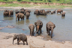 Elephant herd washes Stock Photography