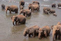 Elephant herd in water Stock Photography