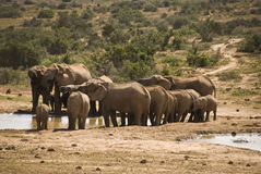 Elephant herd at water hole Stock Photos