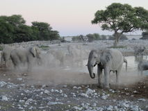 Elephant Herd at Water Hole in Etosha National Park, Namibia, Africa Royalty Free Stock Images