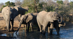 Elephant herd at waterhole Royalty Free Stock Images