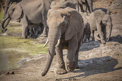 Elephant herd at the waterhole Stock Photography
