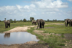 Elephant herd at watering Stock Images