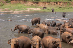 Elephant herd at a watering hole. A herd of elephants bathing and drinking at a natural watering hole or stream Stock Photo