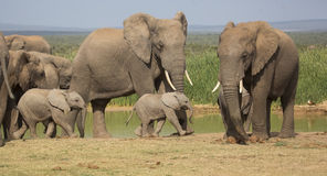 Elephant Herd With 2 Tiny Babies Stock Photo