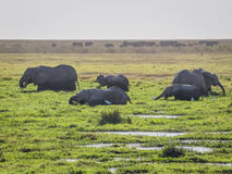 Elephant herds Stock Photo