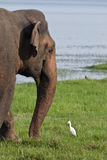 Elephant and Heron in a meadow. Elephant and heron grazing together on meadow Stock Photo