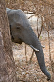 Elephant hiding behind tree Royalty Free Stock Photos