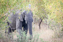 Elephant hiding behind a tree. Royalty Free Stock Image