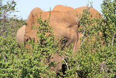 Elephant hiding in the bushes Stock Images